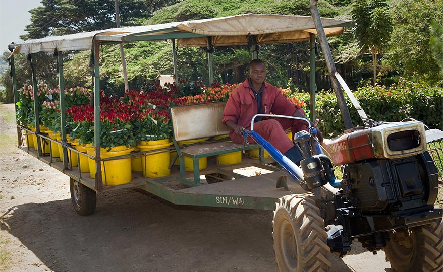 A rose grower driving a vehicle in Africa