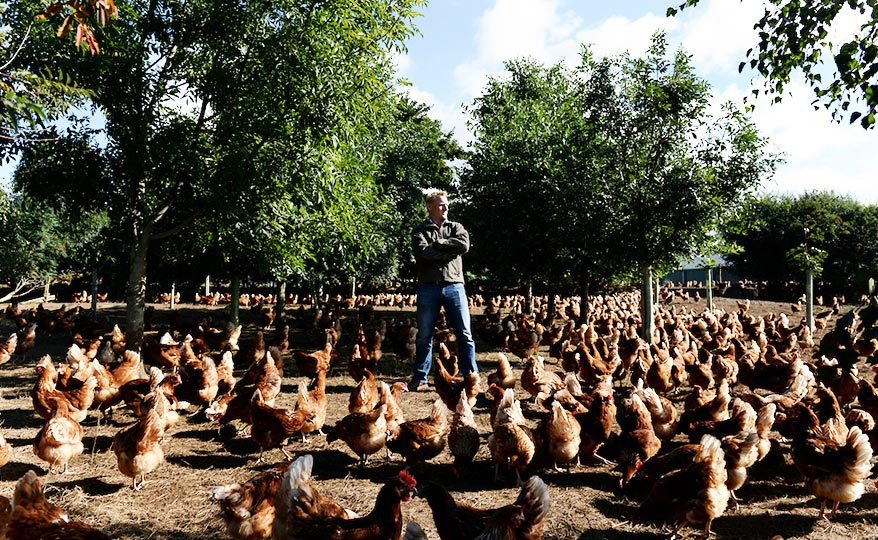 A farmer surrounded by brown hens